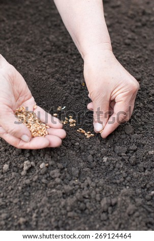 Sowing wheat hands in the earth. - stock photo
