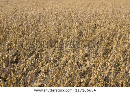Soy Bean Field Ripe for Harvest - stock photo
