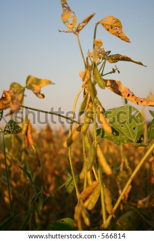 Soy Beans at Sunset - Two - stock photo