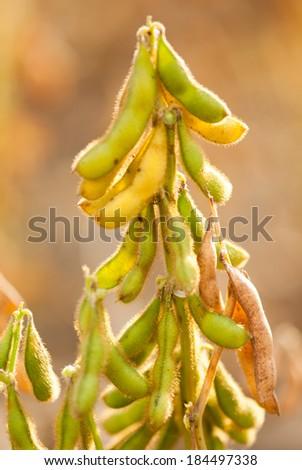 Soy beans closeup almost ready to harvest, Salunkwadi, Beed, Maharashtra, India, South east Asia - stock photo