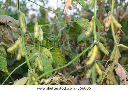 Soy Beans in Summer - stock photo