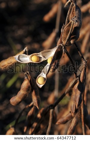Soy beans in the field almost ready to harvest - stock photo