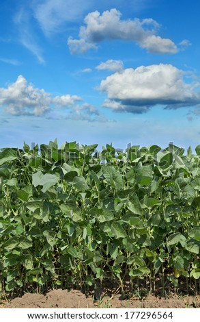 Soy plant in field with  blue sky and white fluffy clouds - stock photo