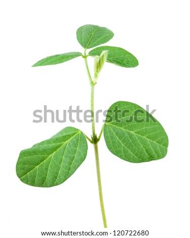 Soy plant isolated on white background - stock photo