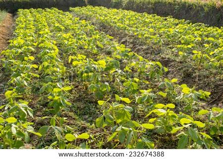 Soybean farm - stock photo