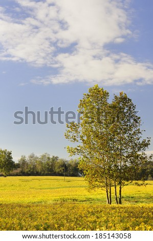 Soybean Field and Tree in Fall in Early Morning Sun  - stock photo