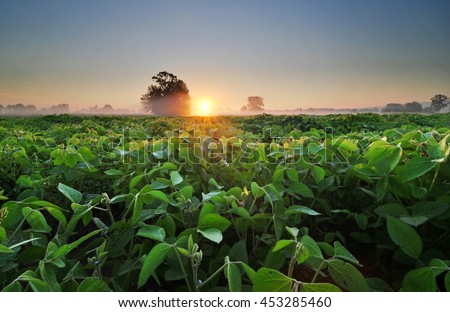 Soybean field at sunrise - stock photo