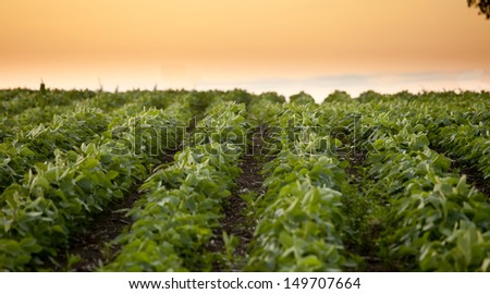 soybean field, low angle view at dawn