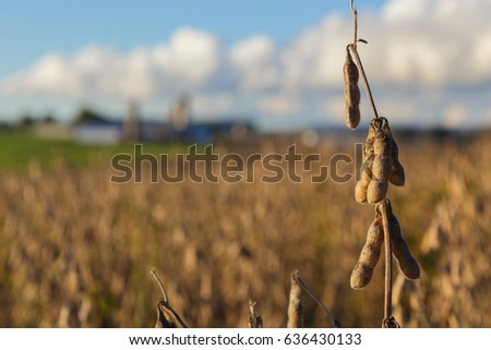 Soybean field ready to harvest