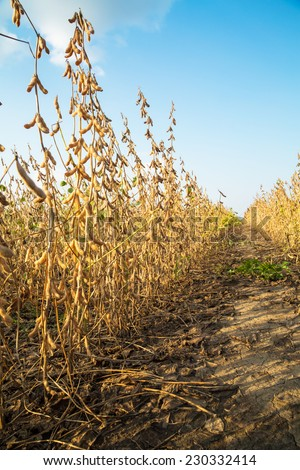 Soybean field ripe just before harvest - stock photo