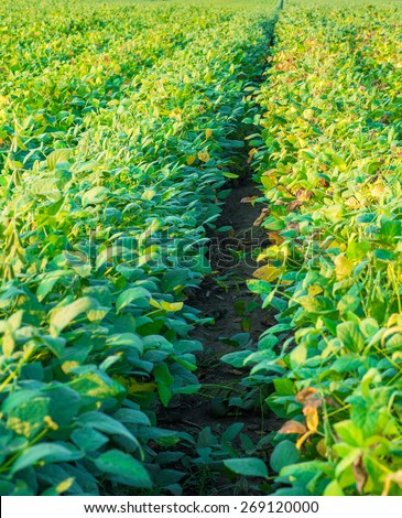 Soybean field ripe just before harvest, agricultural landscape - stock photo