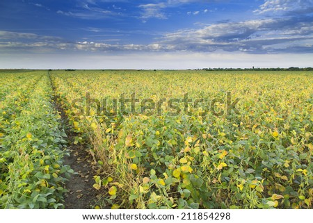 Soybean field ripening at spring season, yellow and green leafs agricultural landscape - stock photo