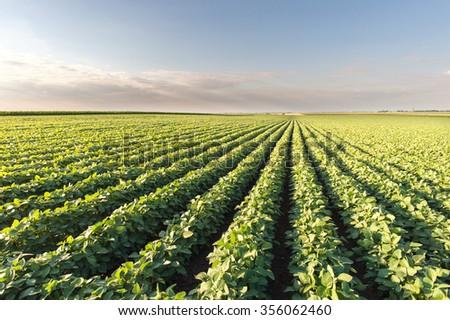 Soybean Field Rows in summer - stock photo