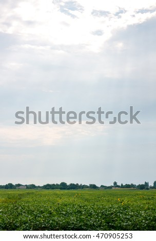 Soybean Field Rows in summer