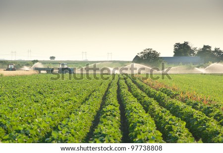 soybean field with rows in sunset - stock photo