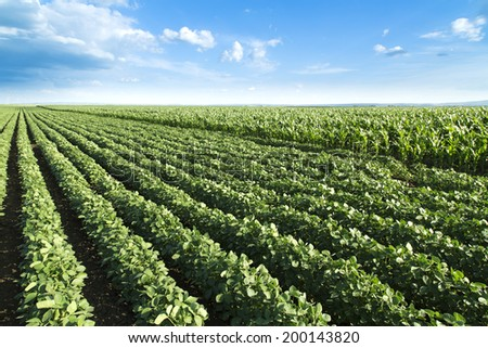 Soybean next to corn field ripening at spring season, agricultural landscape - stock photo