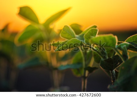 Soybean plants in agricultural field in sunset, selective focus
