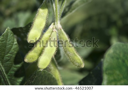 Soybean pods - stock photo