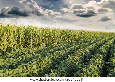 Soybean ripening next to corn maize field at spring season, agricultural landscape - stock photo