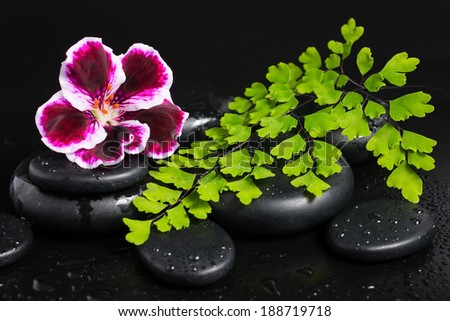 Spa concept of beautiful deep purple flower, green branch and zen stones with drops on black  background