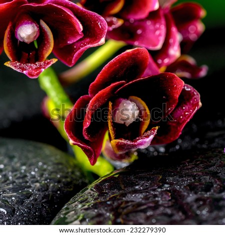 spa concept of dark cherry flower orchid phalaenopsis on zen basalt stones with drops, closeup   - stock photo