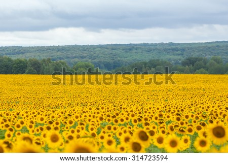 Spacious summer agricultural landscape during the changing weather field of sunflowers