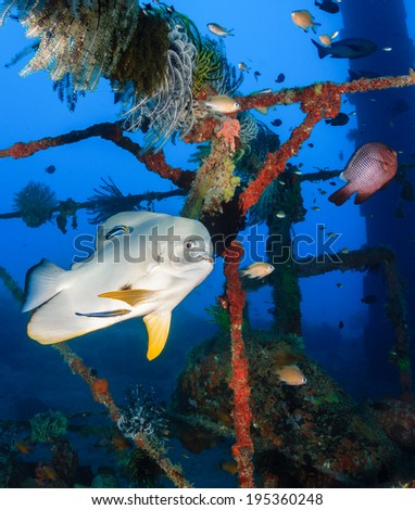 Spadefish (Batfish) at a cleaning station on an underwater wreck