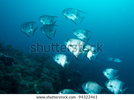 Spadefish on a reef - stock photo