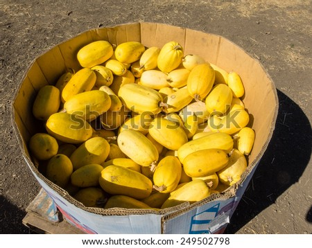 Spaghetti Squash is a small, watermelon-shaped variety, ranges in size from 2 to 5 pounds or more. It has a golden-yellow, oval rind and a mild, nutlike flavor. - stock photo