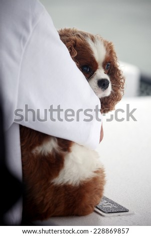 Spaniel dog hugged by owner.