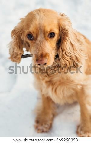 spaniel outside in winter - stock photo