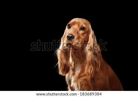 Spaniel portrait on black background - stock photo