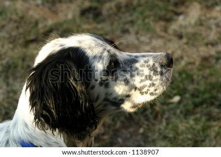 Spaniel Puppy - stock photo