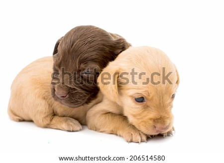 spaniel puppy on a white background