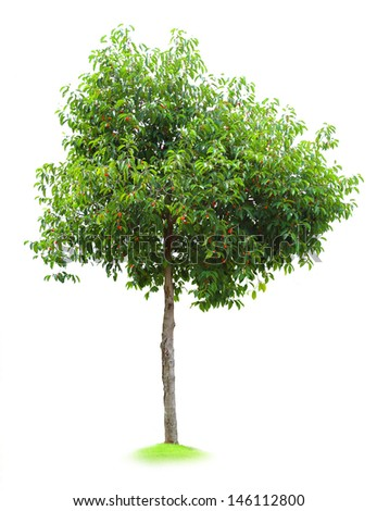 Spanish cherry Tree isolated - stock photo