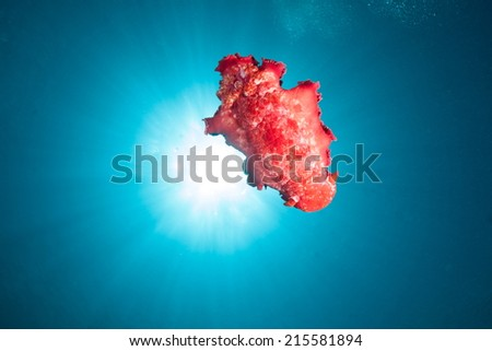 Spanish Dancer Nudibranch and Sunburst - stock photo
