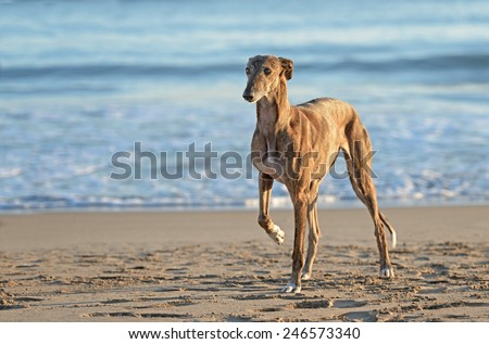 Spanish Greyhound dog poses outdoors at the beach