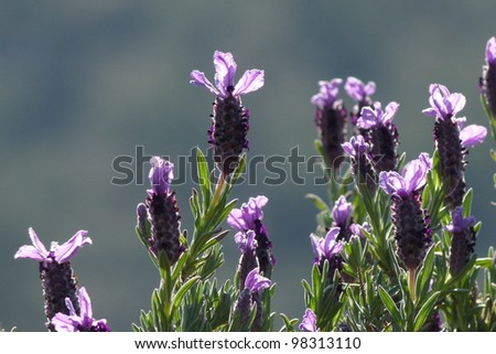 Spanish Lavender - stock photo