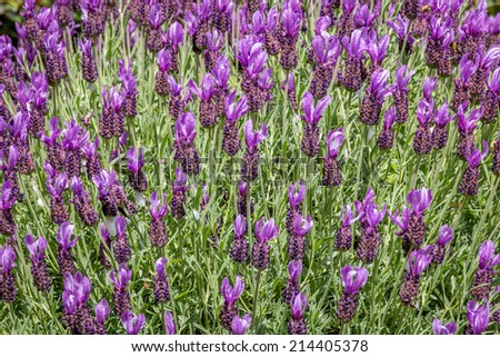 "Spanish Lavender,  "" Lavendula Stoechas "", in full bloom. - stock photo"
