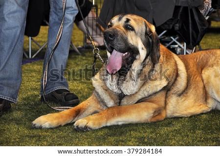 Spanish Mastiff dog on exhibition - stock photo