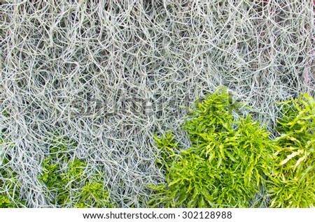 Spanish Moss and leaves background (Tillandsia usneoides) - stock photo