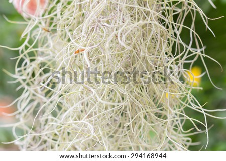 Spanish Moss background (Tillandsia usneoides) - stock photo