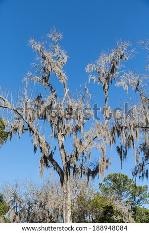 Spanish Moss in a bare oak tree under clear blue skies - stock photo