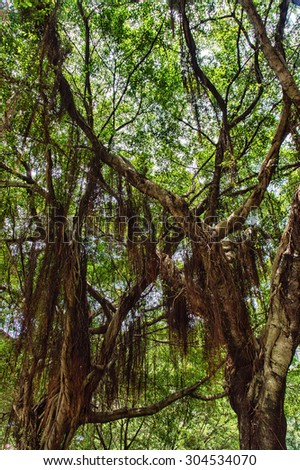 Spanish Moss (not actually a moss, but an herb of the pineapple family) draped from a tree