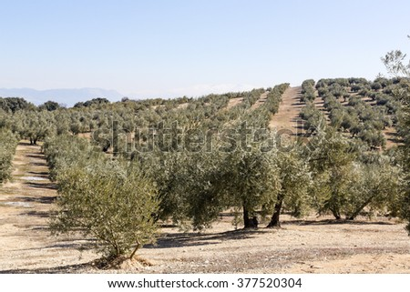 Spanish Olive field. Andalusia zone, Spain. - stock photo