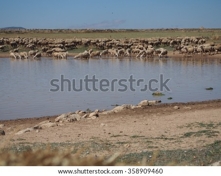 Spanish sheep in the waterhole  - stock photo