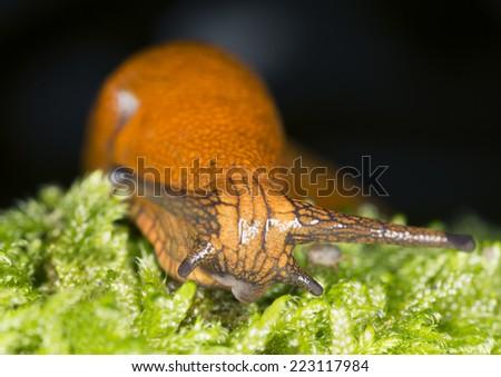 Spanish slug, arion vulgaris, front view  - stock photo