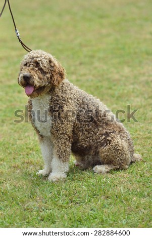 spanish water dog in the meadow. Pets and parks - stock photo
