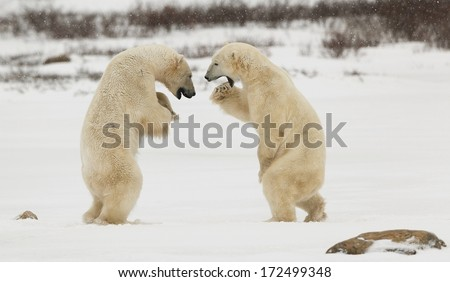 Sparing polar  bears.Two polar bears play fighting. Polar bears fighting on snow have got up on hinder legs.  - stock photo