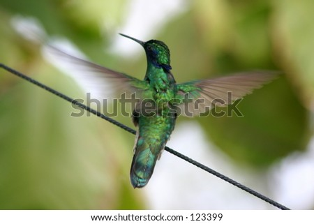 Sparkling violet ear Humming Bird in Flight - Colibri coruscans